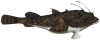 Monkfish grow to a length of more than 1.5 m