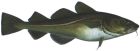 Cod available seafood wholesale