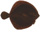 Turbot is highly prized as a food fish for its delicate flavour