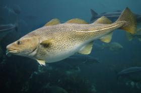 The Atlantic cod has historically been one of the world's important natural reso