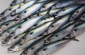 Caught mackerel