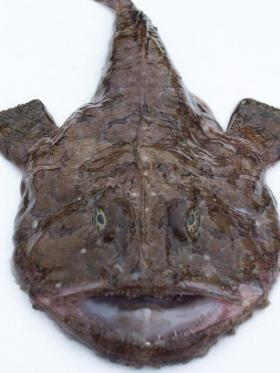 Monkfish are a popular item