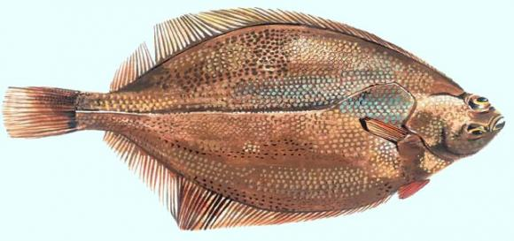 The witch flounder or Torbay sole