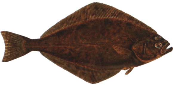 Halibut is by far the largest of all flat fish