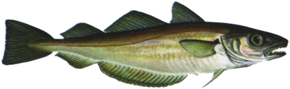 Whiting is a delicate fish